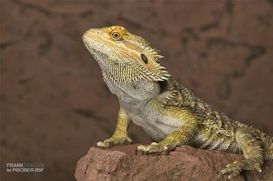 POGONA VITTICEPS COLOR 12-14 CM