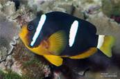 AMPHIPRION CLARCKII 3-4 CM BSF