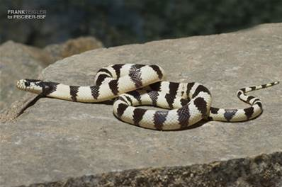 LAMPROPELTIS CALIFORNIAE