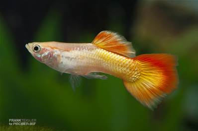 GUPPY MACHO FLAME 3.5-4 CM