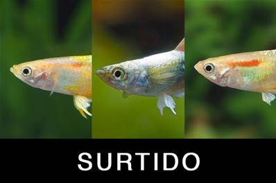 GUPPY MACHO SURTIDO 3-3.5 CM BSF (THAI)