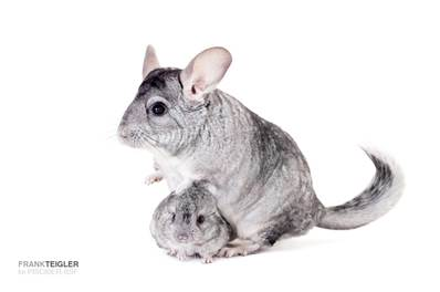 CHINCHILLAS GRIS (Sin reclamación) ***