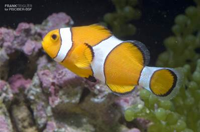 AMPHIPRION OCELLARIS SALVAJE 4-6 CM