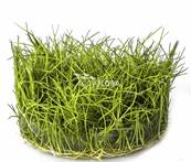 ELEOCHARIS SP MINIMA (TARRINA 100 ML) AF